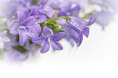 Campanula bell flowers Stock Photography