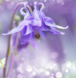 Campanula Royalty Free Stock Photography