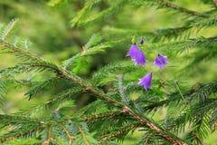 Campanula (bellflower) wild Royalty Free Stock Photo