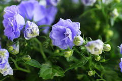 Campanula bellflowers Royalty Free Stock Photos