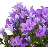 Campanula Bellflowers Royalty Free Stock Image