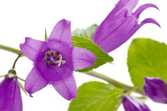 Campanula or bellflowers isolated Stock Images