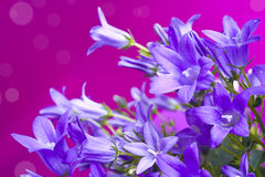Campanula bellflowers on purple background.  Stock Photos