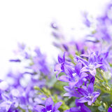 Campanula bellflowers on white background.  Stock Images