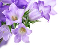 Campanula bells isolated on white Stock Photo