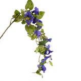 Campanula bleu sur un blanc photo stock