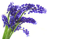 Campanula bluebell Flower Royalty Free Stock Image