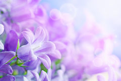 Campanula bouquet royalty free stock photography