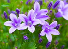 Campanula bouquet. Royalty Free Stock Images