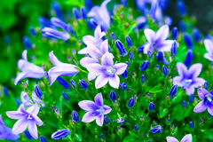 Campanula bouquet Stock Photo