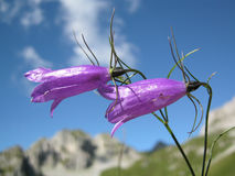Campanula carnica. Inflorescences of Campanula carnica on a natural alpine landscape with mountains and blue sky. Campanula carnica is an endemic plant that Stock Image