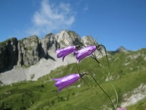 Campanula carnica in the natural landscape of Dolomites. Inflorescences of Campanula carnica on a natural alpine landscape with mountains and blue sky. Campanula Royalty Free Stock Photography