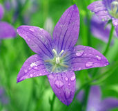 Campanula close-up Royalty Free Stock Photography