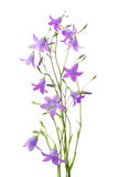 Campanula closeup Royalty Free Stock Photos