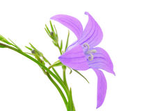 Campanula closeup Stock Images