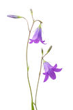 Campanula closeup Royalty Free Stock Images