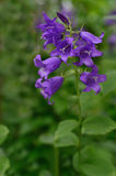 Campanula flower Royalty Free Stock Image