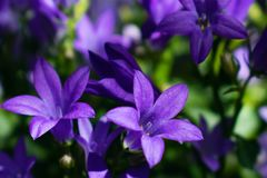 Campanula flower blossom close up. Purple bellflower in garden royalty free stock photography