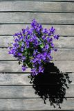 Campanula flower in pot on wooden table from top. Purple bellflower stock photography