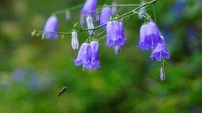 Campanula flower purplish blue mountains Stock Image