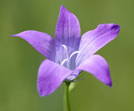 Campanula flowering Stock Photos