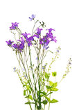 Campanula flowers Royalty Free Stock Images