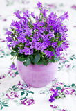 Campanula flowers Stock Photography