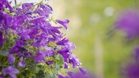 Campanula flowers Stock Photos