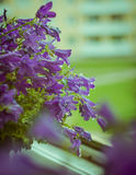Campanula flowers Stock Photo