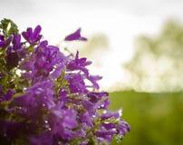Campanula flowers Stock Image