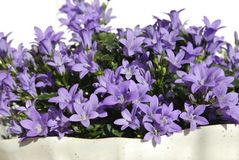 Campanula Flowers Royalty Free Stock Image