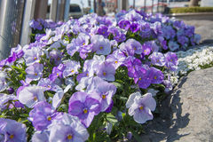 Campanula flowers in the City.  Stock Photo