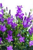 Campanula flowers closeup Royalty Free Stock Photography