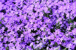 Campanula royalty free stock images
