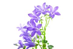 Campanula flowers isolated Stock Photo