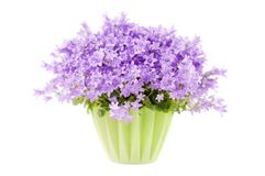Campanula flowers isolated on white background Royalty Free Stock Images