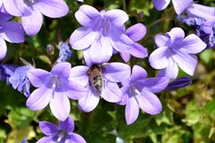 Campanula flowers with leaves. Purple campanula flowers with leaves Royalty Free Stock Image