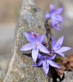 Campanula flowers with leaves. Purple campanula flowers with leaves Royalty Free Stock Images