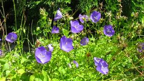 Campanula flowers Royalty Free Stock Photography