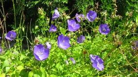 Campanula flowers Royalty Free Stock Photography