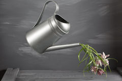 Campanula flowers. in Metallic gray vintage watering can, copy space. Royalty Free Stock Image