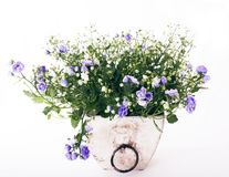 Campanula flowers on white background Stock Photos