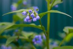 Campanula in the garden Stock Photos