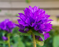 Campanula glomerata Clustered Bellflower purple ball flower in the garden Royalty Free Stock Photo