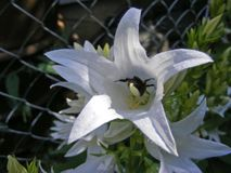 Campanula latifolia alba of white color, bee of honney close up royalty free stock photo