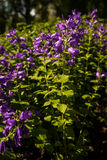 Campanula latifolia `Brantwood` growing in a park royalty free stock photo