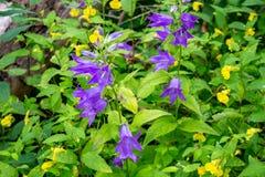 Campanula latifolia or giant bellflower stock photography