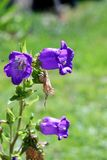 Campanula medium in garden Stock Photography