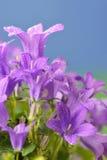 Campanula muralis  flowers Stock Images