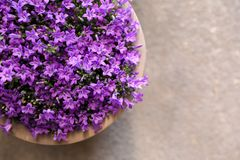 Campanula muralis flowers or violet bellflowers growing in a flowerpot, top view. Campanula muralis flowers or violet bellflowers growing in a flowerpot, copy royalty free stock photography